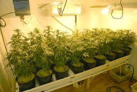 marijuana growing.jpg